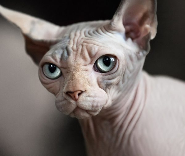 What You Need to Know About Sphynxes